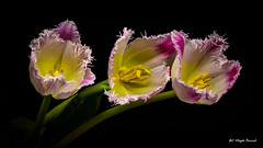 Three tulips (Magda Banach) Tags: canon canon80d sigma150mmf28apomacrodghsm threetulips blackbackground colors flora flower macro nature pink plants tulip tulips yellow multikolored multikoloredtulip