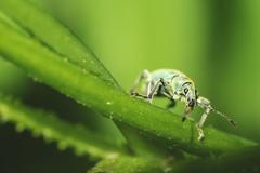 Phyllobius pomaceus (Konstantin.a7) Tags: phyllobiuspomaceus bug käfer brennnesselgrünrüssler nesselblattrüssler insect macro nature green 昆虫 虫 接写 自然 緑 insecto escarabajo naturaleza verde makro grün insekt natur diewocheaufinstagram brennnessel