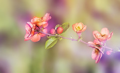 A branch of tamarisk. (augustynbatko) Tags: twig spring nature tamarisk macro blur flower flowers blossom plant pastel