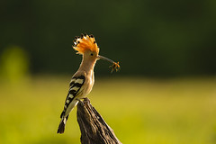 Eurasian hoopoe (adambotond) Tags: eurasianhoopoe hoopoe upupaepops bird outdoor animal wildlife wild wildlifephotography wilderness wildanimal backlit nature naturephotography birdphotography aves magyarország hungary europe somogy somogyfajsz stvsz adambotond canoneos1dx canonef400f4doisiiusm canon