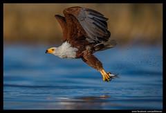 Beauty of The Nature (asifsherazi) Tags: africanfisheagle lakebaringo tumbilicliff kenya asifsherazi pakistaniwildlifephotographer wildlife prey birdofprey raptor hunting