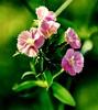 Sparks of Spring (barbara_donders) Tags: spring lente natuur nature flowers bloemen pink roze green groen macro bokeh prachtig mooi beautifull magical