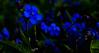 So now then, you did forget me (evakongshavn) Tags: macromondays lowkey macro macroshot makro makroaufnahmen macrounlimited macromonday happymacromonday happymacromondays mondaymacro forgetmenots forglemmegei flowers flower blomst blomster villblomster spring vår vårblomster hmm mm omphalodesverna vårkjærminne 7dwf bluetiful