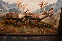 Mountain Caribou - Katmai National Park (Adventurer Dustin Holmes) Tags: 2018 wondersofwildlife museum katmainationalpark nationalpark exhibit stuffed taxidermy caribou animals chordata animalia mountaincaribou