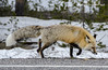 red fox (Pattys-photos) Tags: redfox yellowstonenationalpark pattypickett4748gmailcom pattypickett