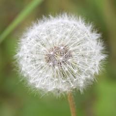 Dandelion Seed Head (MJ Harbey) Tags: dandelion seedhead dandelionseedhead taraxacum nikon d3300 nikond3300 flowerseedhead weed asteraceae