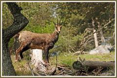 Chamois 180517-11-P (paul.vetter) Tags: rupicaprarupicapra capriné chamois bovidé gamuza gemse mountaingoat