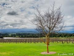 Vineyards @ Chandon (orgazmo) Tags: australia vic victoria coldstream chandon landscapes vineyards wineries winery downunder olympus omd em1mk2 mzuiko12100mmf4ispro micro43s