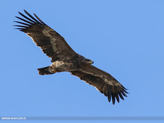 Steppe Eagle (Aquila nipalensis) (gilgit2) Tags: avifauna birds canon canoneos7dmarkii category fauna feathers geotagged imranshah jabbashah khushab location pakistan punjab species steppeeagleaquilanipalensis tags tamron tamronsp150600mmf563divcusd wildlife wings gilgit2 aquilanipalensis