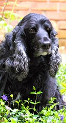 20/52 - Sammy 2018 (conniegavin12) Tags: 52weeksfordogs fieldspaniel spaniel dog pet periwinkle
