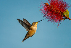 the look (pstrock1) Tags: morning wings wild fly nature bird wing beauty hummingbird spring flower field