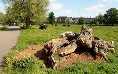 Cows on Midsummer Common (James Bowe) Tags: 2018 midsummercommon cambridge cows plants grass trees logs wood horsechestnut aesculushippocastanum
