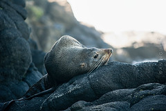 A lazy day (talaan) Tags: newzealand otago animal annguyen beach coast dunedin dunedinwalk furseal lisastrip nature ocean otagopeninsula peninsula rock rocky sealion seal seascape smailsbeach travel travelphotography wanderlust waves wellnesswalker wellnesswalkers wildanimal wildlife