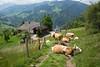 Monsieur, à votre famille et à vos vaches, bravo... (quote by Hans Landa) (Toni_V) Tags: m2407938 rangefinder digitalrangefinder messsucher leicam leica mp typ240 type240 28mm elmaritm12828asph hiking wanderung randonnée escursione alpenpanoramaweg oberstisite kantonbern bern cows kühe animal switzerland schweiz suisse svizzera svizra europe vache ©toniv 2018 180519