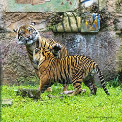 Spare the Paw (Harry Rother) Tags: endangered animal mammal bigcat tiger sumatran