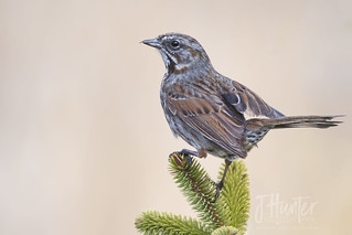 Song Sparrow 4