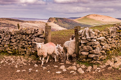 Blocking the way. (patrica.evans3) Tags: castleton peak district derbyshire back tor winnats pass sheep animals looking you dry stone wall fields landscapes sky hills countryside