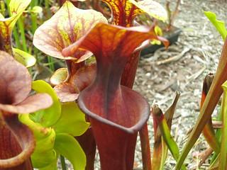 Sarracenia flava var. rubricorpora 'black throat' Liberty Co, FL