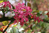 IMG_2222 (Joan van der Wereld) Tags: spring nature flowers blossoms blossoming tree pink green