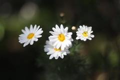 Daisies (erica-kalmeta) Tags: depth field daisies flowers plant shallow blurry sun summer