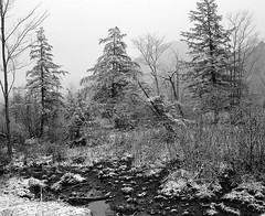 (babireley) Tags: pentax67 pentaxsmc75mmf45 berggerpancro400 pottercounty pa pottercountypa pawilds winter snow trees pinetree thedarkroomlab