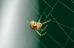 Creepy worker (d0mokun) Tags: burtonupontrent england unitedkingdom gb macro sigma105mm spider web