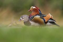 Mandarin Duck (steve whiteley) Tags: mandarin duck wildlife bird nature colour aixgalericulata
