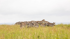 Nairobi-Nationalpark-5814 (ovg2012) Tags: commonzebra equusquagga kenia kenya nairobinationalpark safari steppenzebra