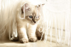 Shyness (Irina Valeria) Tags: siberian neva masquerade nikon white blu blue eyes fluffy cat pet animal kitty kitten