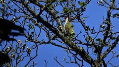 """ Green Manalishi "" (hope2029) Tags: woodpecker sunny day tree blueskies hebden bridge west yorkshire"