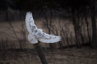 Snowy Owl touching down