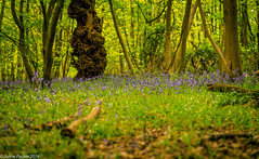 untitled (186 of 240).jpg (jamiepacker99) Tags: 2018 essex england spring april bluebells shipwrightswood thundersley canoneos6d canonef24105mmf4lisusmlwns