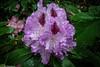 Rhododendron (J.Weyerhäuser) Tags: stadtpark rhododendron lila wassertropfen regen strauch