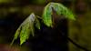 green leaves-2 (grahamrobb888) Tags: nikon nikond800 d800 nikkor nikkor20mmf18 scotland birnamwood perthshire woods woodland