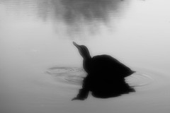 Duck (garry_dav) Tags: activeassignmentweekly bestofweek1 bestofweek2 bestofweek3