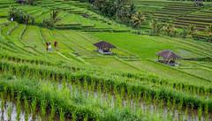 Bali (Seval Aydoğan) Tags: penebel bali indonesien id