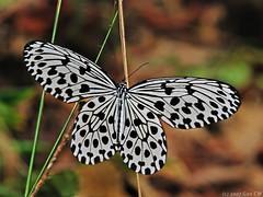Idea hypermnestra linteata (Green Baron Pro) Tags: butterfly frasershill idea danainae malaysia 200712 nymphalidae