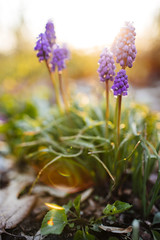 Grape Hyacinth [04.27.18] (Andrew H Wagner | AHWagner Photo) Tags: 5dmk3 5d3 5dmkiii 5dmarkiii 5dmark3 canon eos 35l 35mm f14 f14l bokeh dof nature spring maryland md outdoors explore exploration exploring flowers grapehyacinth hyacinth flower lensflare flare sunlight sunny sunshine goldenlight golenhour