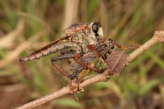 Female Robber Fly (Asilidae)