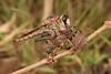 Female Robber Fly (Asilidae) (John Horstman (itchydogimages, SINOBUG)) Tags: insect macro china yunnan itchydogimages sinobug entomology canon robber fly diptera asilidae 2 predator prey fb topf25 explore topf50 tweet