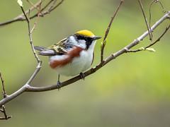 Warbler, Chestnut-sided (@Michael) Tags: beavercreekvalleystatepark chestnutsidedwarbler em1ii gear minnesota olympus olympus300mmf4 places setophagapensylvanica statepark warbler wildlife