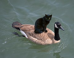 Hitching A Ride (Scott 97006) Tags: cat kitty bird goose water river float ride cute unbelievable