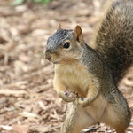 Squirrels in Ann Arbor at the University of Michigan (May 21st, 2018) thumbnail