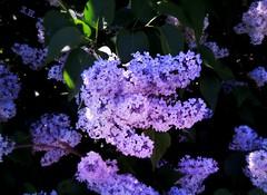 Purple Fingers (pianocats16) Tags: lilac purple