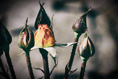 Un asunto muy espinoso. Caravaca de la Cruz. (Miguel Angel SGR) Tags: flores flowers rosa rosas rose roses detalles d3000 details detalle detail dof luz light nature naturaleza flor flowering floracion flower color colors colorful colorido espinas thom spine spines belleza beauty spring springtime primavera caravaca caravacadelacruz murcia españa spain nikon nikond7200 d7200 deepoffield