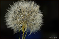 In campagna (adrianaaprati) Tags: country countryside dandelion may spring blur macro