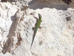 Ibiza Wall Lizard (Podarcis pityusensis) near Cala Llonga in Ibiza (j.a.sanderson) Tags: reptiles reptile calallonga ibiza ibizawalllizard podarcispityusensis