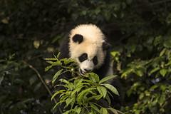 Giant panda. (richard.mcmanus.) Tags: china panda giantpanda animal wildlife chengdu mcmanus 中國