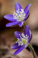 Hepatica #2 (billd_48) Tags: ohio spring nature cmp macro flowers hepatica
