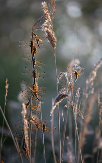 Four-spotted chaser roost (RSPB Ham Wall)
